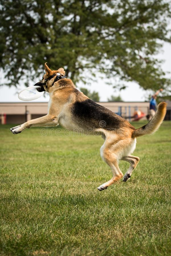 German shepherd dog park playing Frisbee jumping catching stock images
