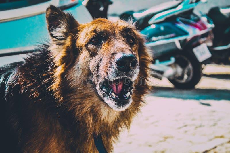 German Shepherd. Dog photography landscape royalty free stock photos