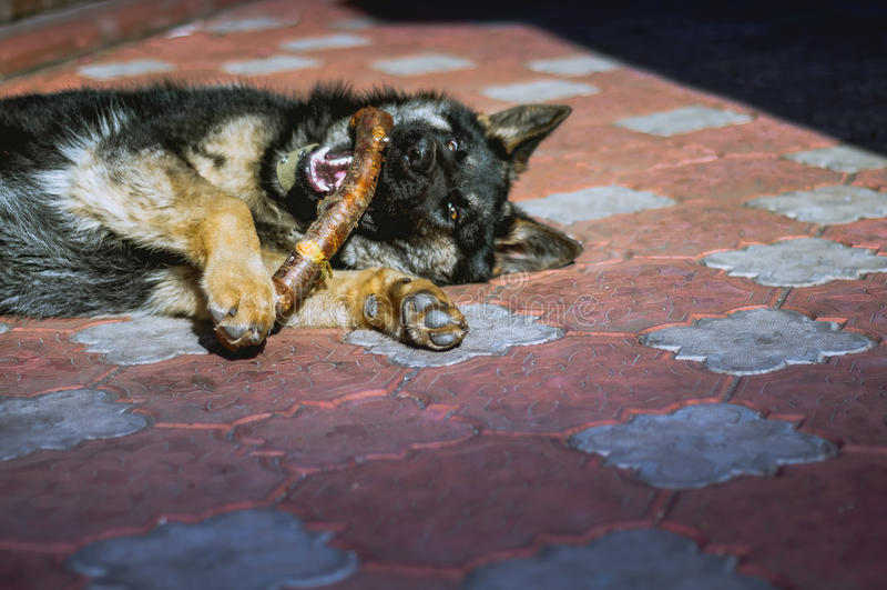 Download German Shepherd Stock Photo - Image: 83720653