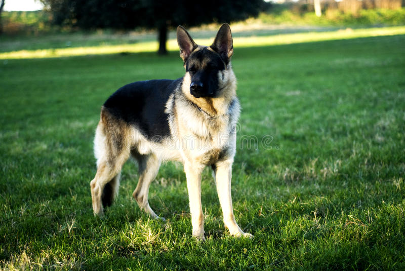 german shepherd brown german shepherd dog stock image image of white still 9442