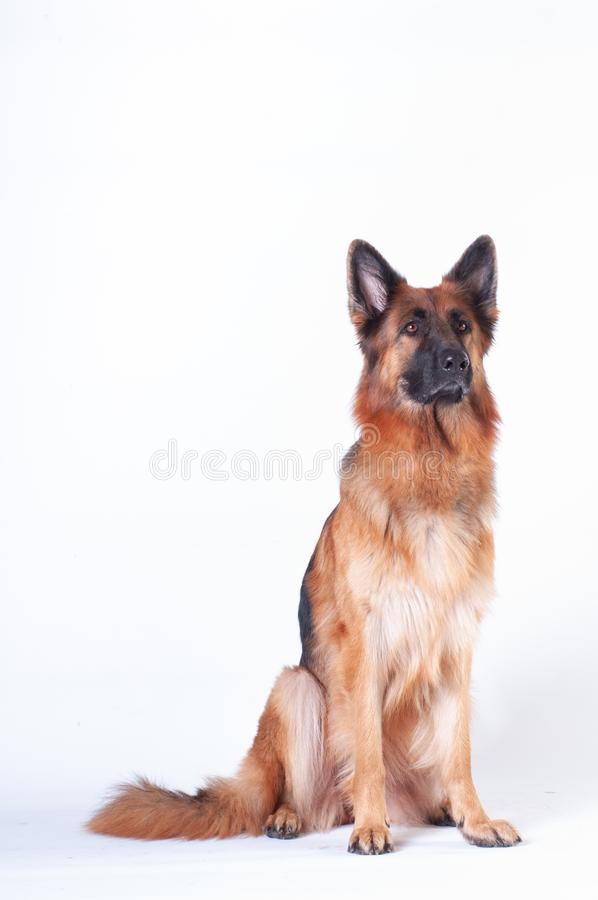 Free German Shepherd Dog Portrait On White Background Stock Image - 131775091