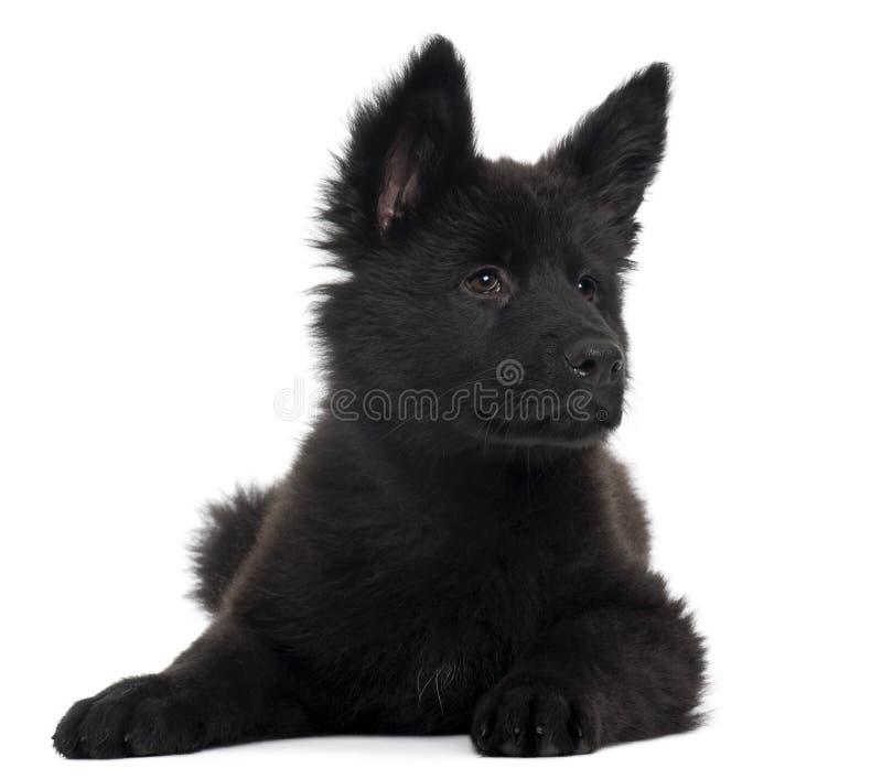 Download German Shepherd Dog Puppy, 10 Weeks Old, Lying Stock Image - Image: 16562745