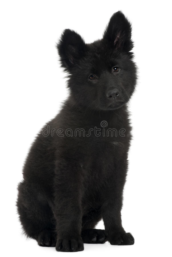 German Shepherd Dog Puppy, 10 Weeks Old, Sitting Royalty Free Stock Images