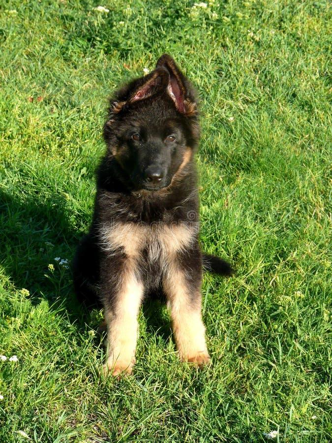 German shepherd dog puppy. Gsd royalty free stock images