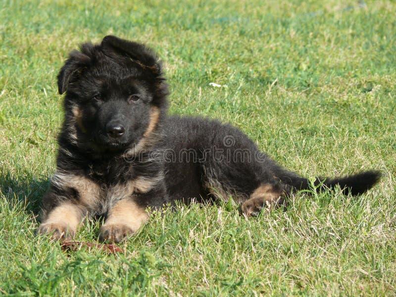 German shepherd dog puppy. Gsd stock photography
