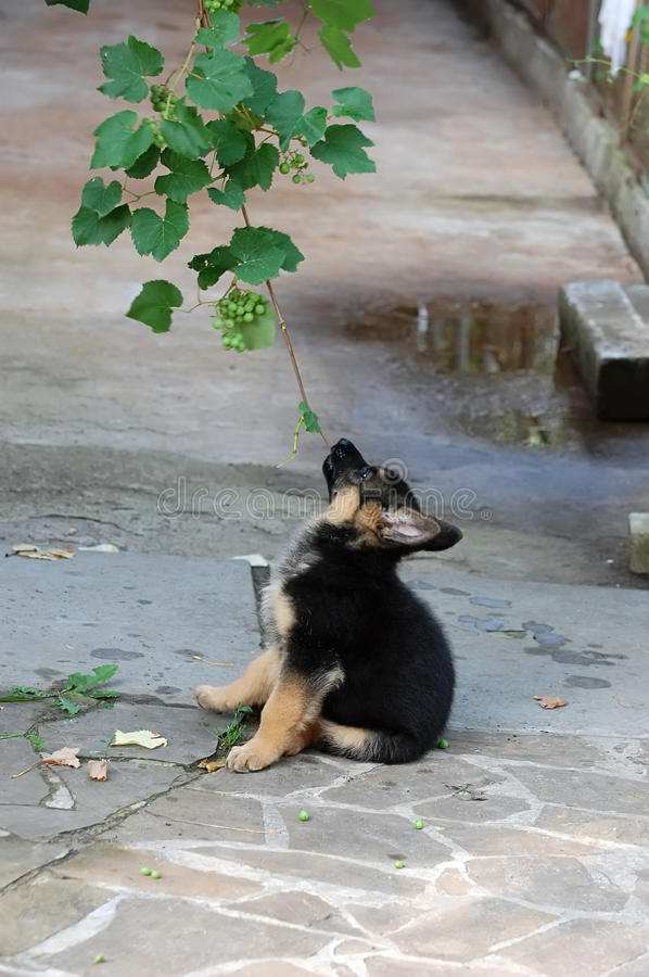 German Shepherd dog puppy play with brunch of grap stock photo