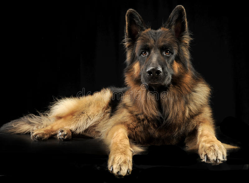 German shepherd dog relaxing in a black studio stock photography