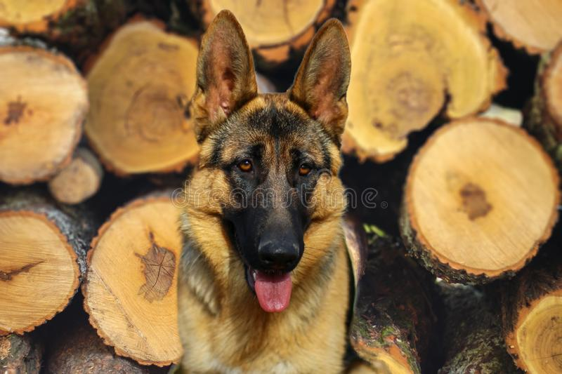 German shepherd dog resting in the garden. German shepherd dog resting in the garden, in front of the wooden stack royalty free stock photography