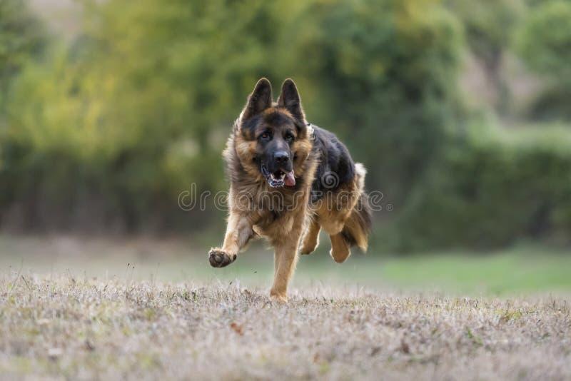 German Shepherd dog running towards the camera. Portrait of a beautiful German Shepherd dog running towards the camera in a meadow with its tongue sticking out stock photography