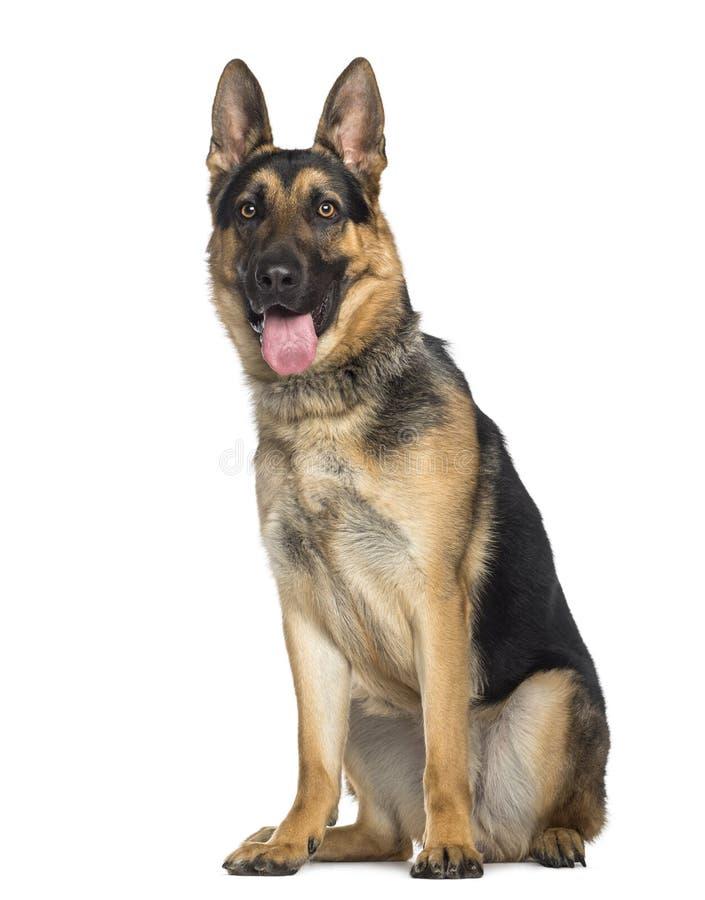 German Shepherd Dog sitting and panting (1 year old) royalty free stock images