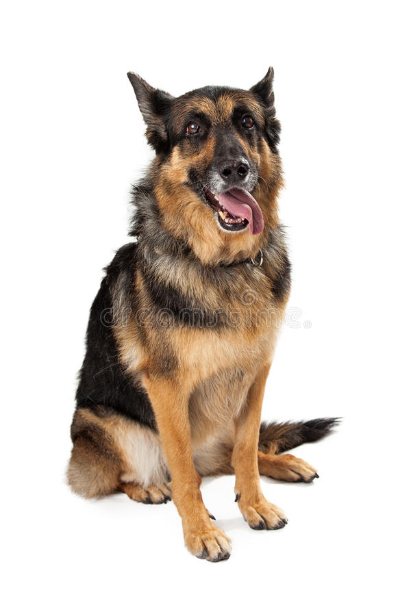 German Shepherd Dog Sitting With Tongue Hanging Out. Look into the camera royalty free stock photography