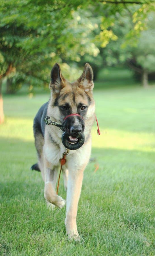 Download German Shepherd Dog After Surgery Stock Image - Image: 32295169