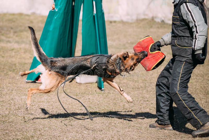 German Shepherd Dog training. Alsatian Wolf Dog. Deutscher, dog stock images