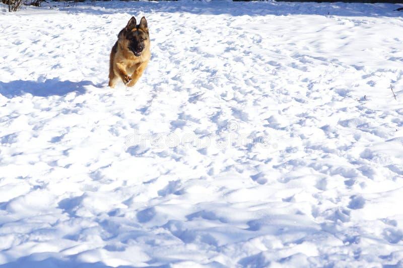 German shepherd dog trainings on snow. German shepherd dog trainings, runs, jumps on snow in cold weather royalty free stock photo