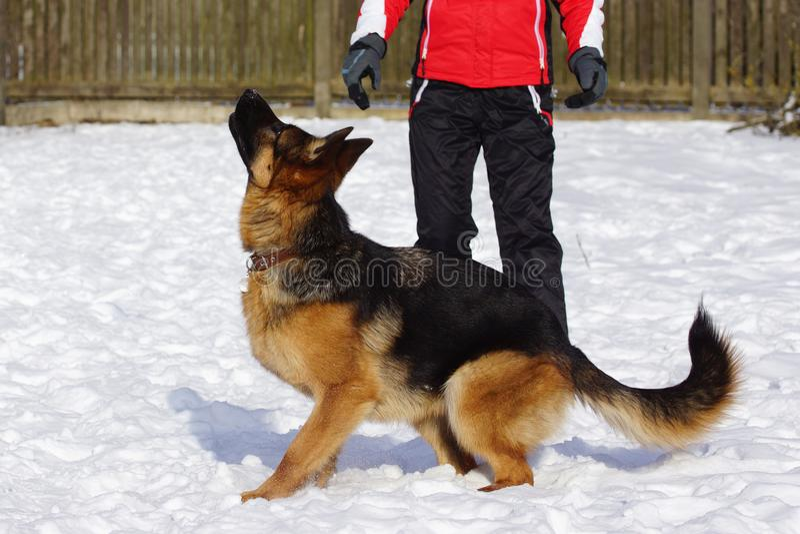 German shepherd dog trainings on snow. German shepherd dog trainings, runs, jumps on snow in cold weather stock photography