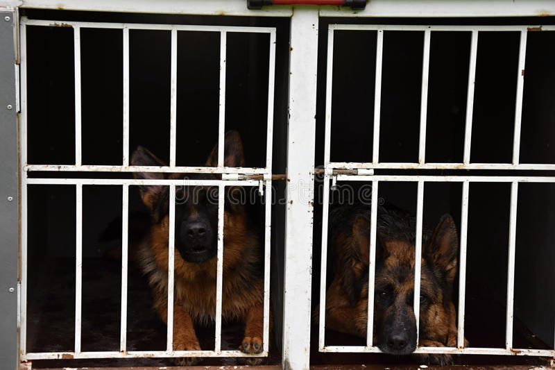 German Shepherd Dog. Two dogs are locked up in a cage on a trailer. royalty free stock photos