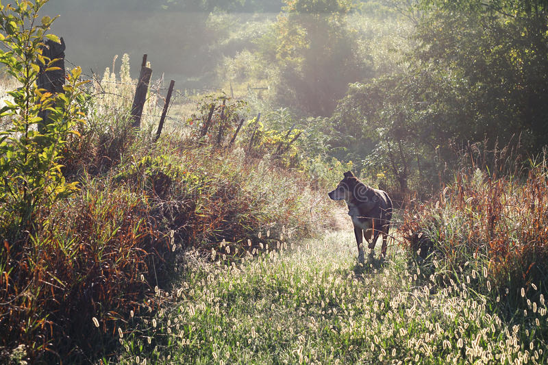 German Shepherd Dog Walking on Country Path in Morning. A black German Shepherd mix dog is walking on a country path on a foggy and dewy morning at sunrise royalty free stock photos