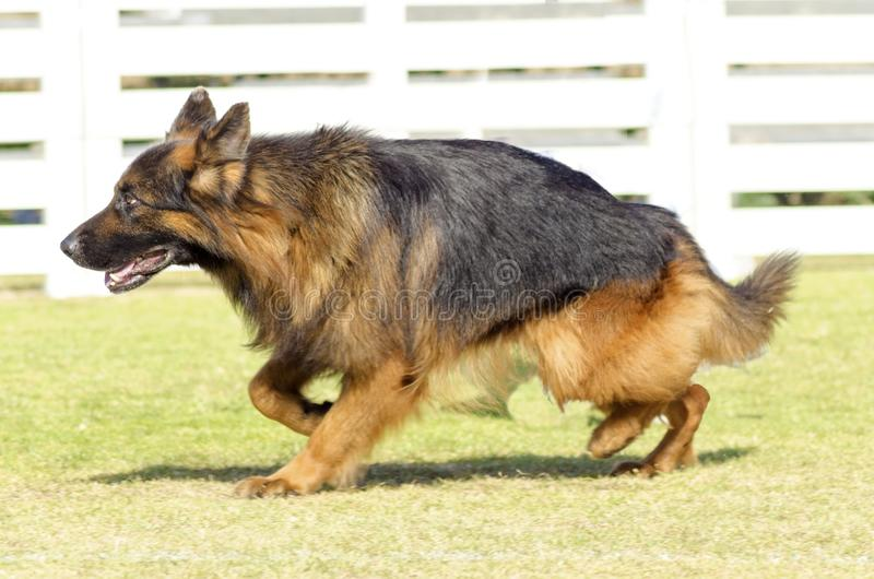 German Shepherd Dog. A young, beautiful, black and tan fluffy German Shepherd Dog walking on the grass while looking happy and playful. The Alsatian aka Berger stock photography