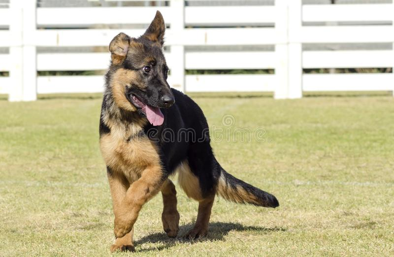 German Shepherd Dog. A young, beautiful, black and tan German Shepherd Dog puppy walking on the grass while looking happy and playful. The Alsatian aka Berger royalty free stock photo