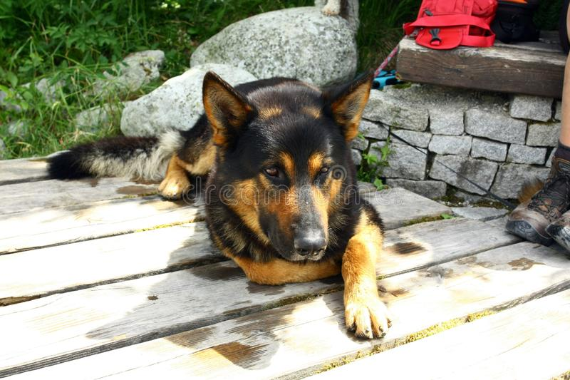 German Shepherd Dog. A young German shepherd resting in the nature with tourists stock photos