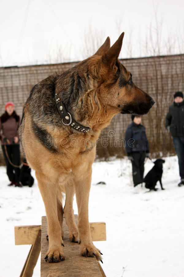 Download German Shepherd Dogs stock image. Image of dogs, domestic - 22023525