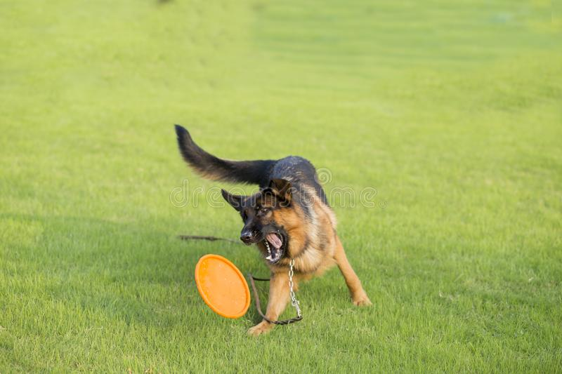 Shepherd Dog. German Shepherd dogs German Shepherd Dog, also known as: Germany canine, GSD, is a Dog of a breed, originated from Germany, the source of origin is royalty free stock images