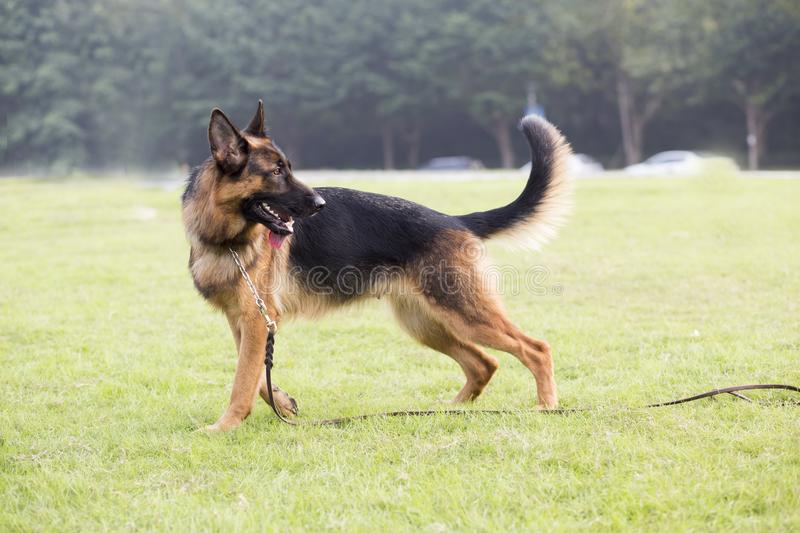 Shepherd Dog. German Shepherd dogs German Shepherd Dog, also known as: Germany canine, GSD, is a Dog of a breed, originated from Germany, the source of origin is royalty free stock image