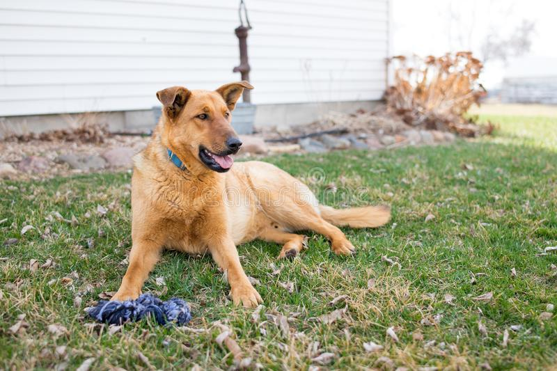 A German Shepherd Farm Dog. The German Shepherd Dog is a large-sized breed belonging to the herding group of working dogs. Intelligent as it is versatile, this stock photos