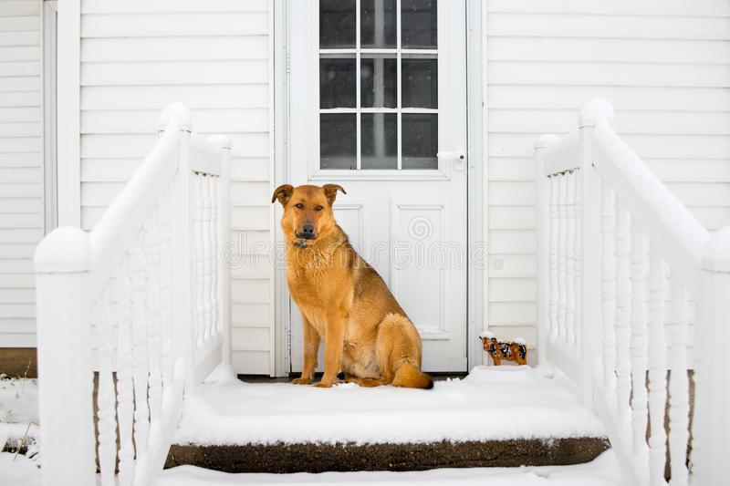 German Shepherd Guards the House royalty free stock photography