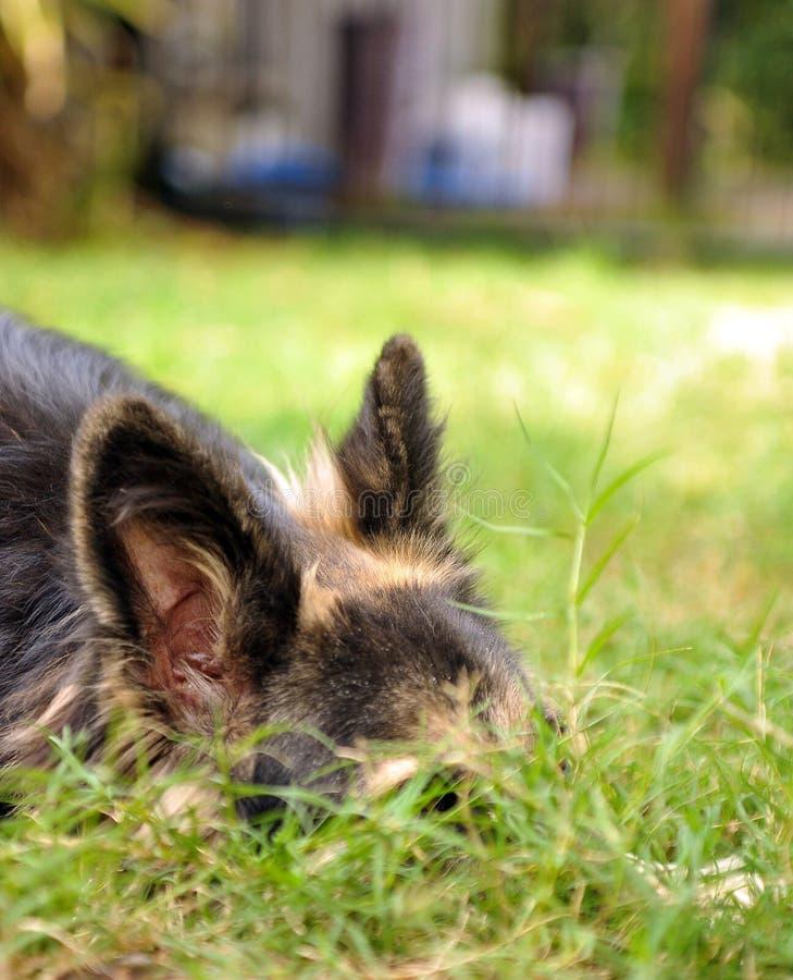 Free German Shepherd Hiding Stock Photos - 40570693
