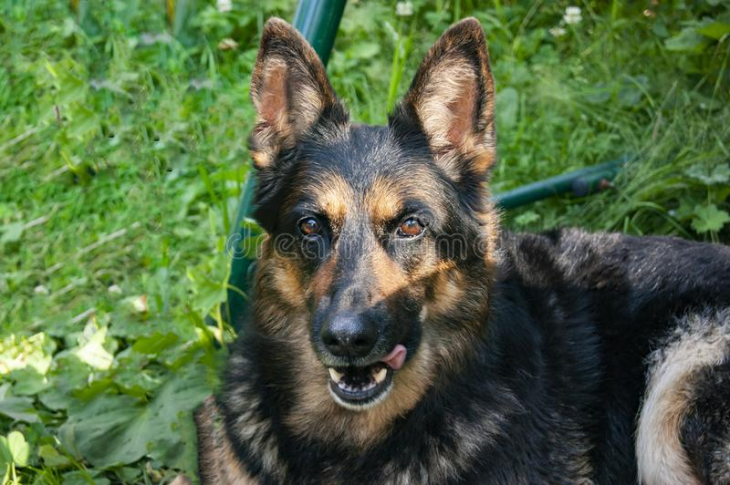 German shepherd lies on the ground and rests stock photos