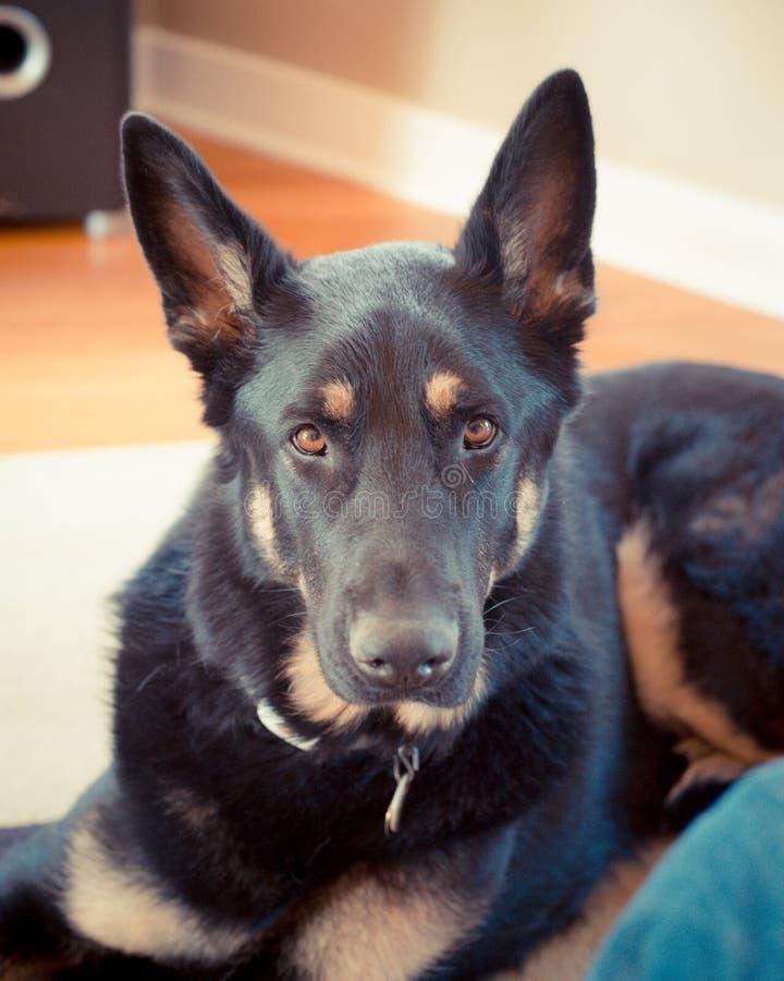 Confident Shepherd. A german shepherd looks confidently at camera royalty free stock photo