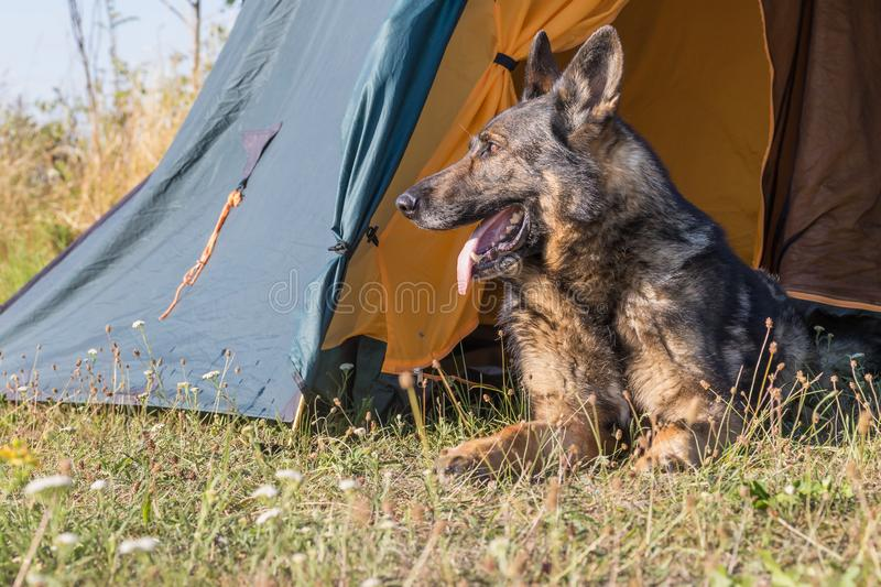 German Shepherd is lying at the vestibule of tent looking to the side. Closeup view of the German Shepherd lying at the vestibule of tent looking to the side stock images