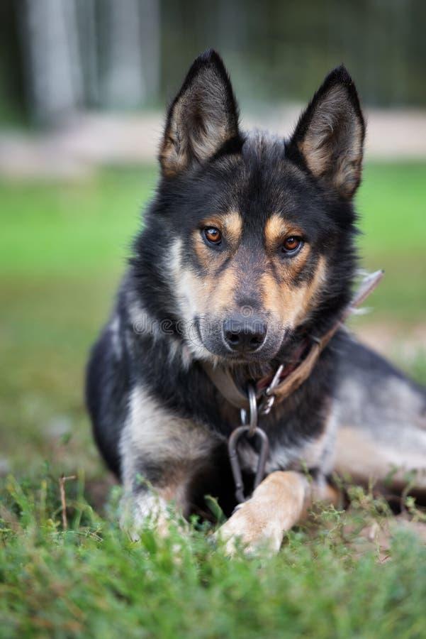 Shepherd mix dog posing outdoors. German shepherd mix dog outdoors royalty free stock photos