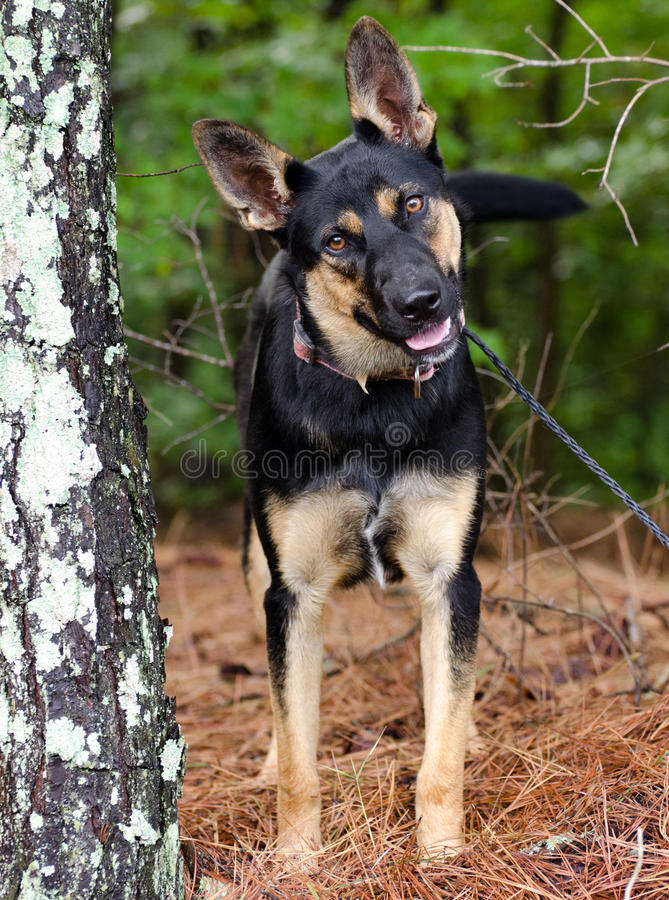 German Shepherd mixed breed dog. Walton County Animal Control, humane society adoption photo, outdoor pet photography royalty free stock photos