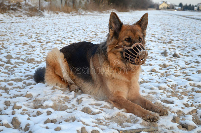 German Shepherd in muzzle stock photography