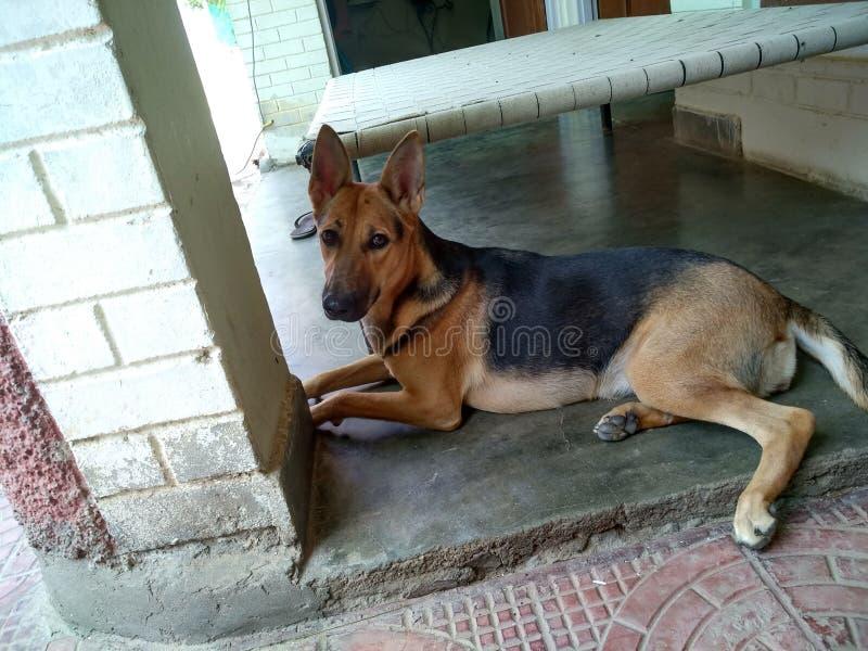 German shepherd, my pet stock images