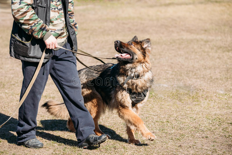 German Shepherd On Obedience Dog Training. Alsatian Wolf Dog. Deutscher Dog royalty free stock image