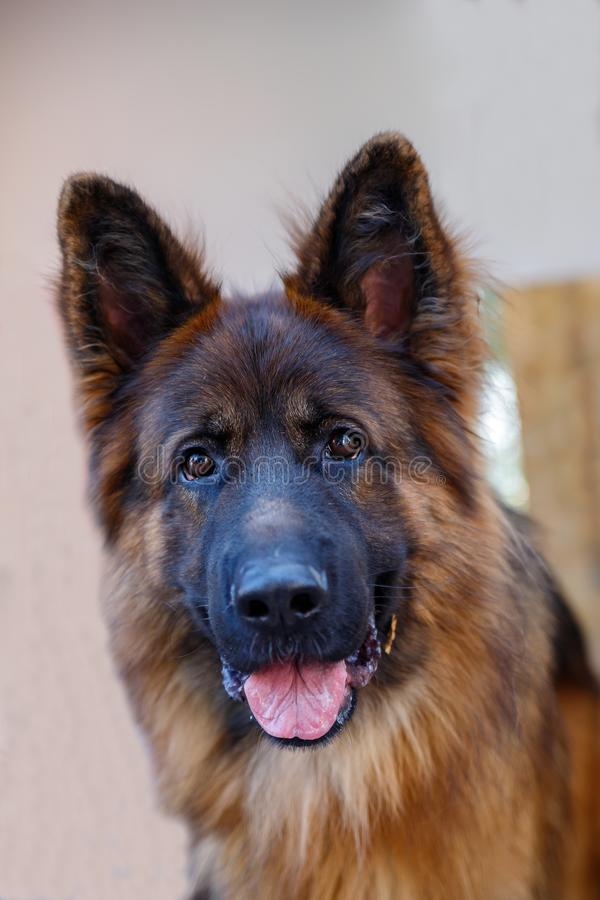 The German shepherd is one of the most popular and recognizable dog breeds on the planet royalty free stock image