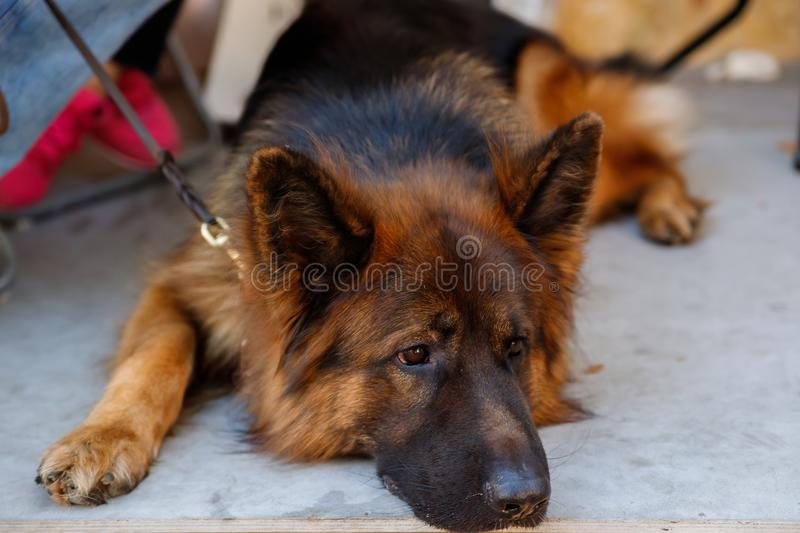 The German shepherd is one of the most popular and recognizable dog breeds on the planet royalty free stock photos