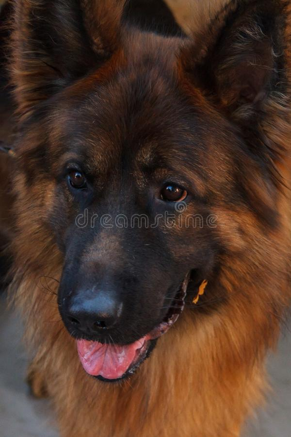 The German shepherd is one of the most popular and recognizable dog breeds on the planet. royalty free stock photo