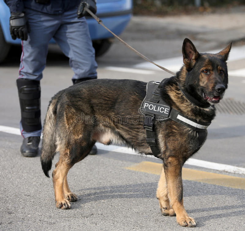 German shepherd police dog while patrolling the city streets. To prevent terrorist attacks royalty free stock photo
