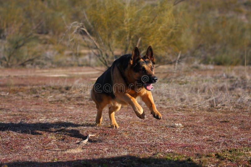 German Shepherd stock photography