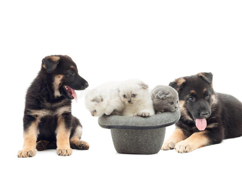 German Shepherd puppies and British Fold kittens royalty free stock photo