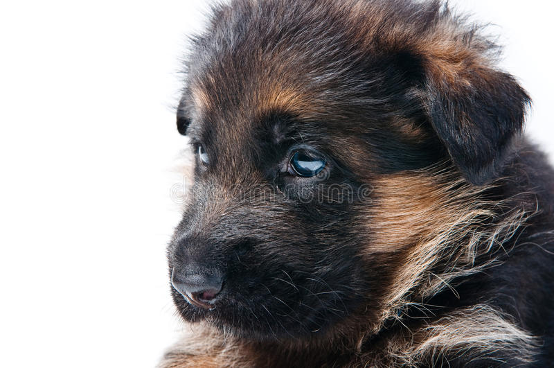 Download German Shepherd puppy stock image. Image of canine, cute - 18814223