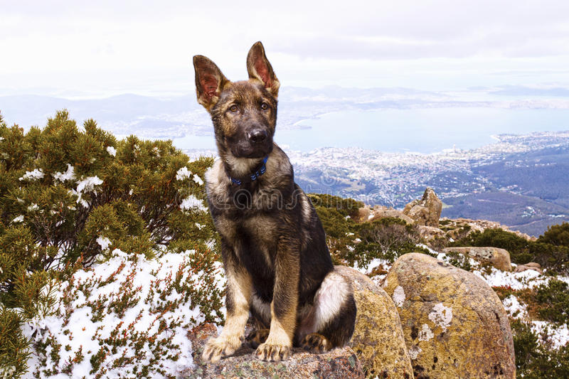Download German Shepherd Puppy Stock Photo - Image: 21720500