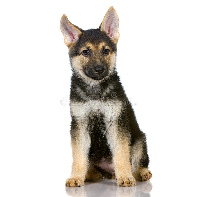 German shepherd puppy. Sitting in front of white background royalty free stock photo