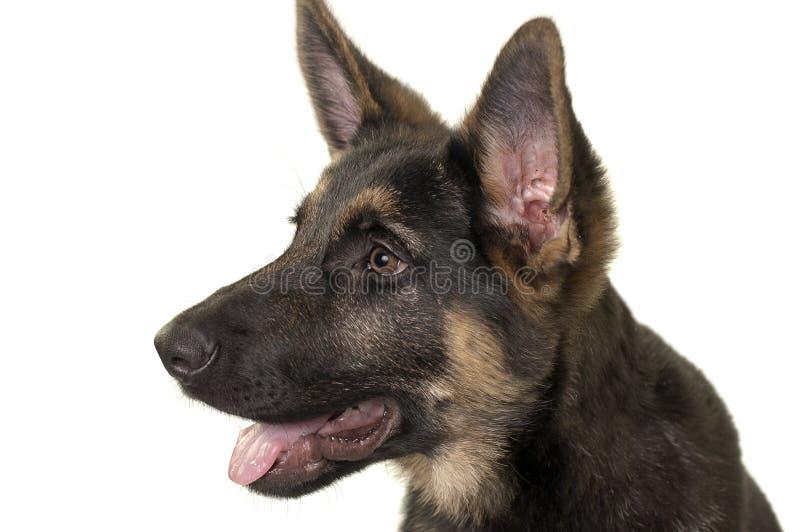 German shepherd puppy. Lovely german shepherd puppy dog, 4months old stock image