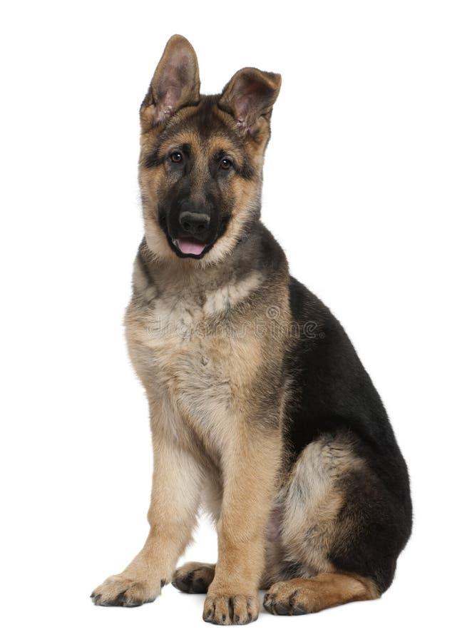 Download German Shepherd Puppy, 4 Months Old, Sitting Royalty Free Stock Photos - Image: 23087788