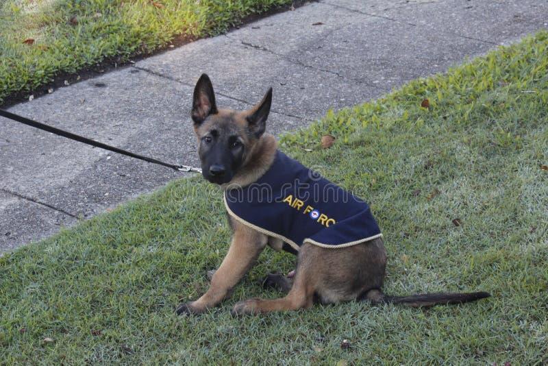 German Shepherd Puppy royalty free stock photos
